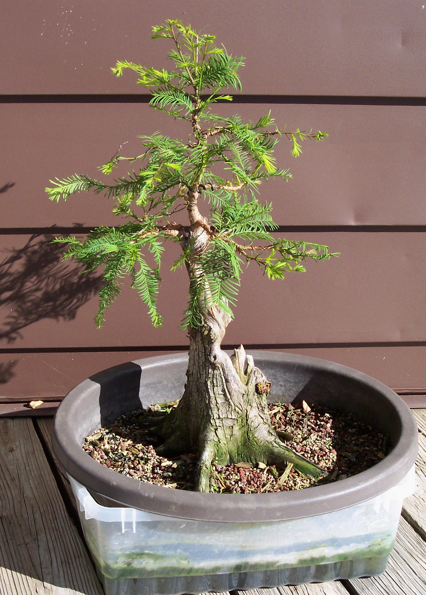 newsletters october 2015 mvbonsai rh mvbonsai com Weeping Willow Bonsai Weeping Willow Bonsai