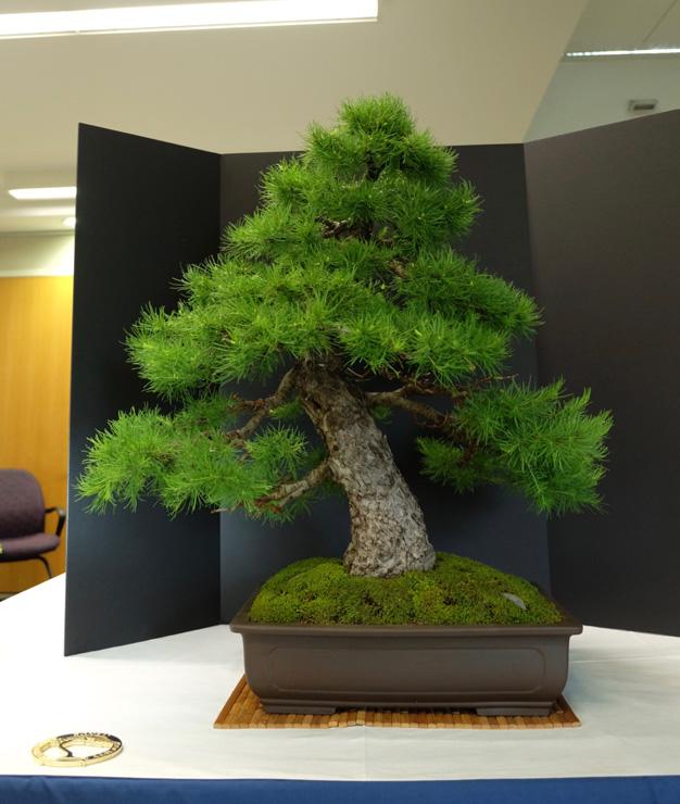 Bonsai Tree Club Bonsai Tree
